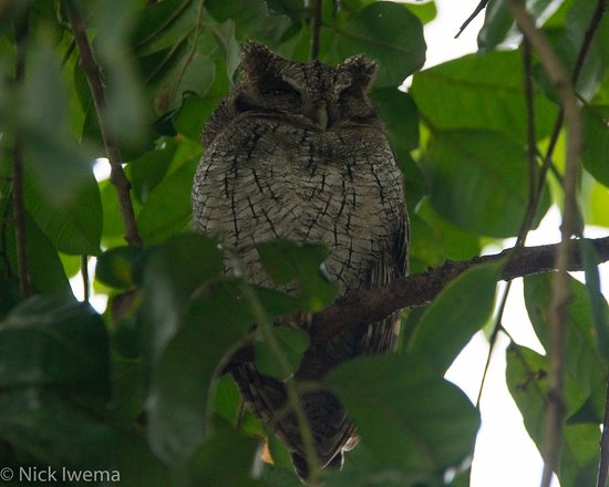 Osa Peninsula, Costa Rica: Tropical Screech Owl