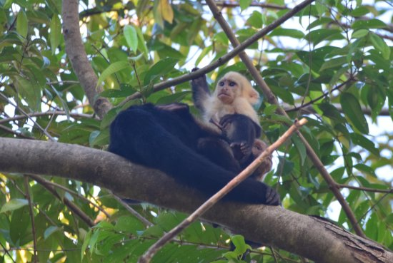 Osa Peninsula, Costa Rica: White-faced Capuchin with baby