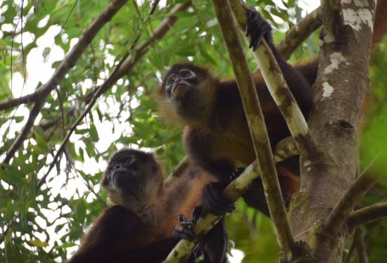 El Remanso Lodge: Spider Monkeys