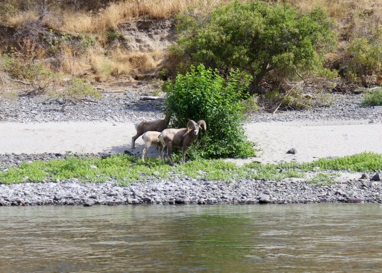 Clarkston, WA: Big Horn sheep