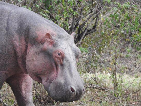 Safari Kenya Tanzania: Este hipo estaba caminando fuera de la habitación