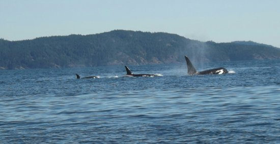 Sooke, Canadá: Family pod of Orcas swimming together, seen from our zodiac