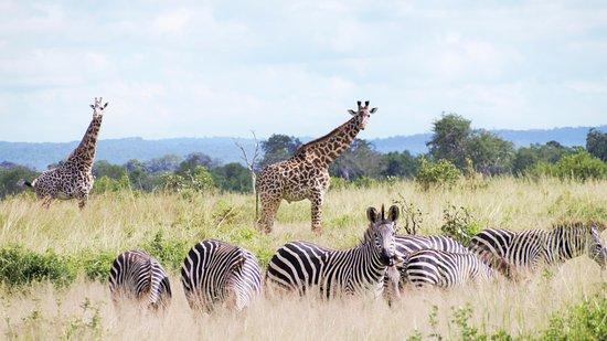 Morogoro, Tanzania: zèbres et twiga!