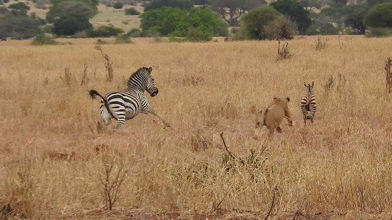 Tarangire National Park, Tanzania: Lioness hunting a little zebra, mother zebra sprinting to little zebra's rescue