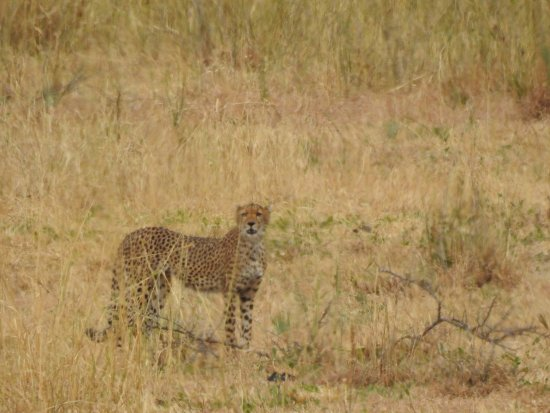 Tarangire National Park, Tanzania: Cheetah