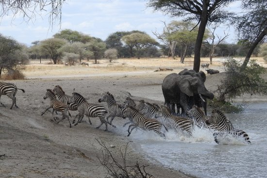 Tarangire National Park, Tanzania: Zebras following their leader and rushing out of a waterhole