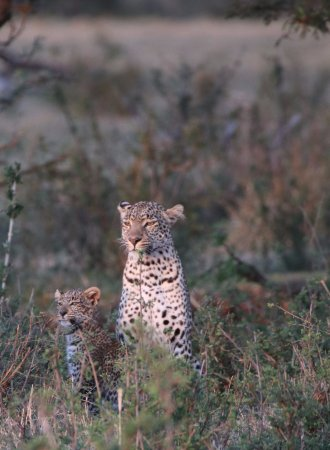Porini Lion Camp: The same Leopard cub with her mother in the early moring light