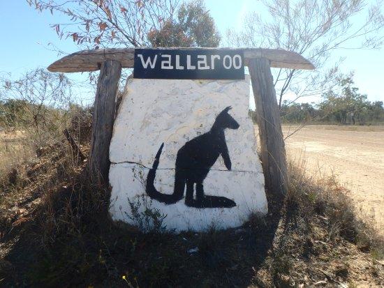 Roma, Australia: Wallaroo!