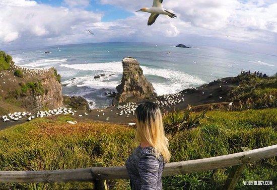 Muriwai Beach, Nouvelle-Zélande : the colony