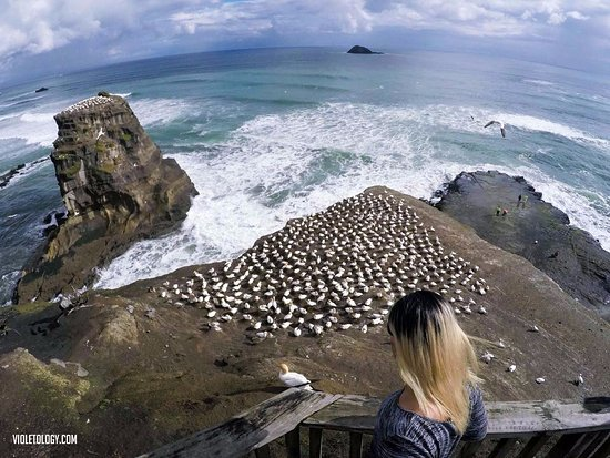Muriwai Beach, New Zealand: the colony