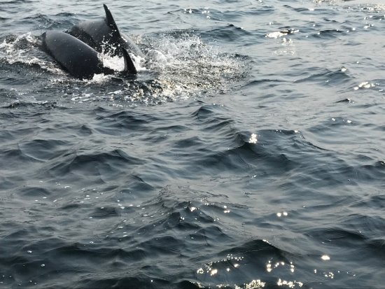 Bay St. Lawrence, Canadá: Mother and calf Pilot whale next to our boat