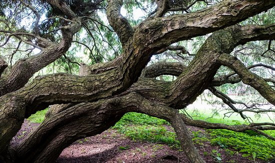 Hendersonville, North Carolina: Sargent Weeping Hemlock is one of several large trees on the property.