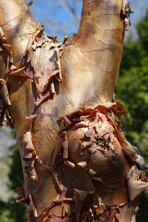 Hendersonville, North Carolina: The bark of the Paperbark Maple is intriguing.