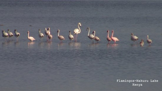 Basecamp Masai Mara: Flamingos in Nakuru,Kenya
