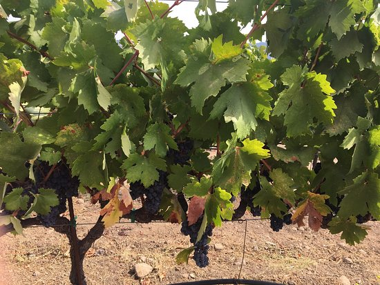 Rutherford, CA: Wine tasting tour