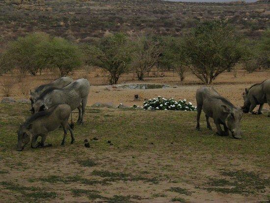 Omaruru, Namibia: Les phacochères au petit déjeuner!