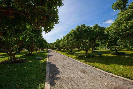 Saraphi, Tailandia: Longan Yard