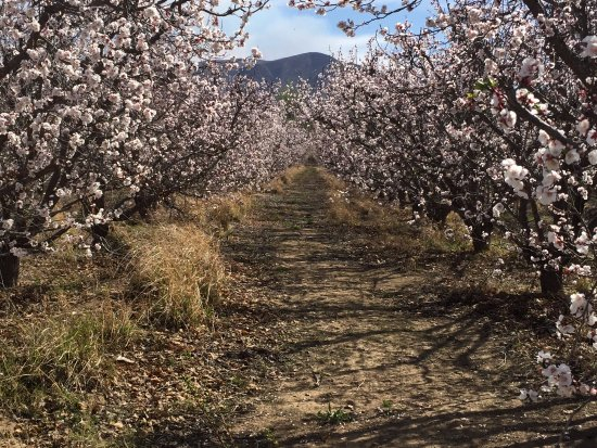 Calitzdorp, South Africa: Fruit trees in bloom