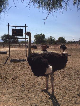 Oudtshoorn, Sudáfrica: Highgate Ostrich Farm
