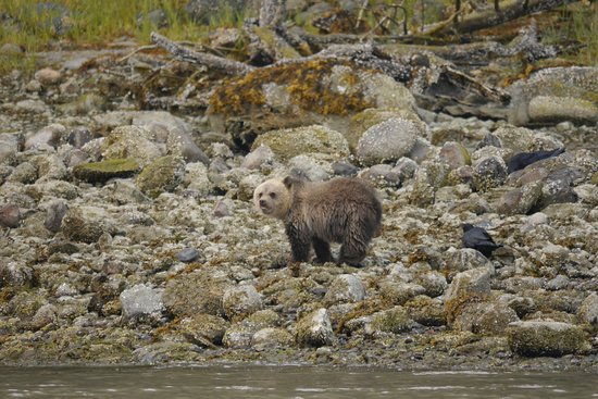 Tide Rip Grizzly Tours: Little Cub foraging for food