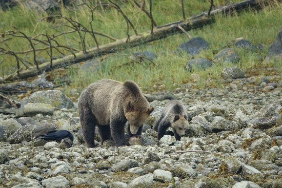 Tide Rip Grizzly Tours: Mumma Bear with one of her cubs