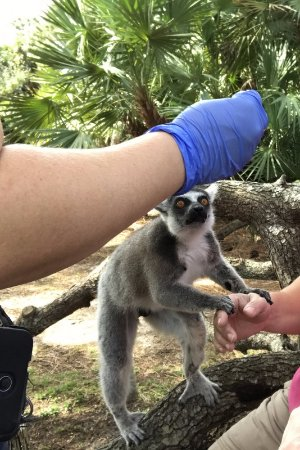 Melbourne, Flórida: Check out the little fingers on that lemur - adorable!