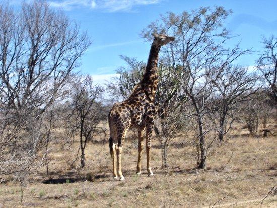 Vaalwater, Güney Afrika: Giraffe