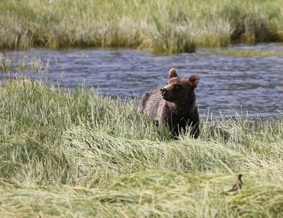 Tide Rip Grizzly Tours: Adult bear