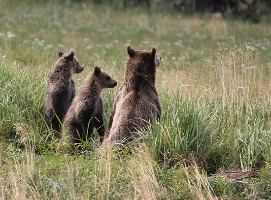 Tide Rip Grizzly Tours: Mum and cubs