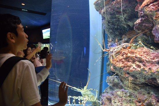 Okinawa Churaumi Aquarium: Crustaceans of unusual size (or optical illusion)?
