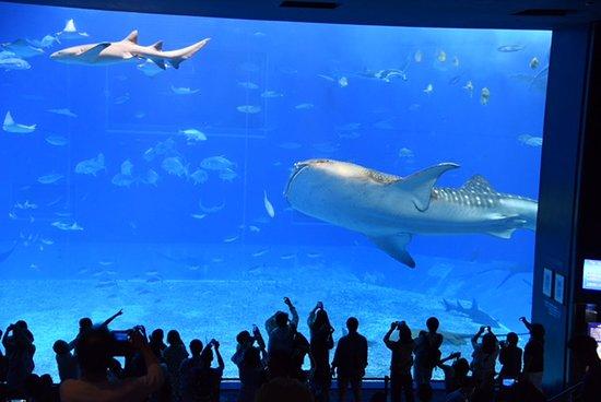 Okinawa Churaumi Aquarium: Gentle giants