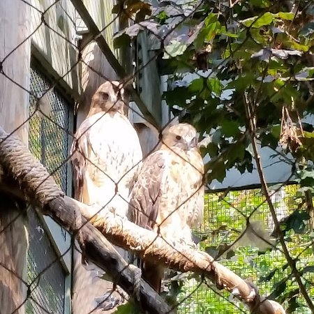 Quechee, VT: Red tailed hawks.