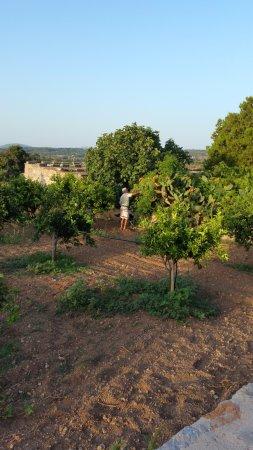 Sant Llorenc des Cardassar, Spain: El padre de Rafael recogiendo higos chumbos