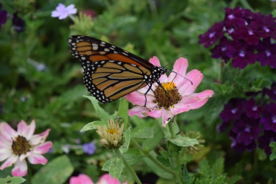 Another butterfly photo - Denver Botanic Gardens at Chatfield ...