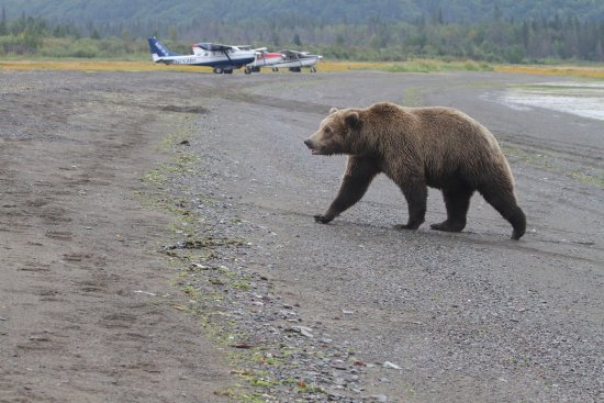 Alaska Bear Adventures: The beach we landed on, our planes, one of many bear!