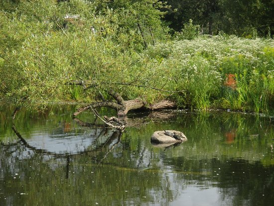 Lincoln Park: turtles sunning on a rock