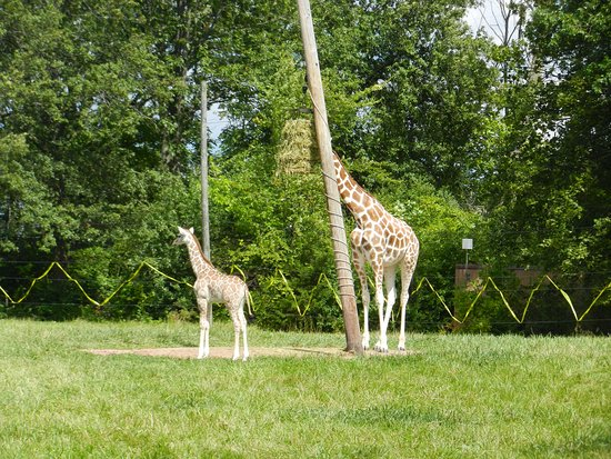 Fort Wayne, IN: Baby Giraffe