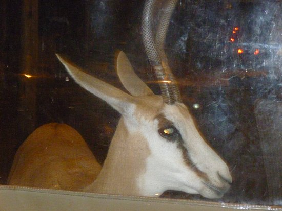 Bagatelle Kalahari Game Ranch: Skunky, the tame springbok, wants to join us for dinner.