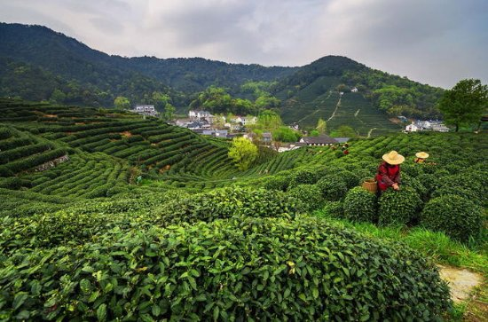 Small Group Tea Picking Day Trip at Hangzhou Dragon Well Tea Village...