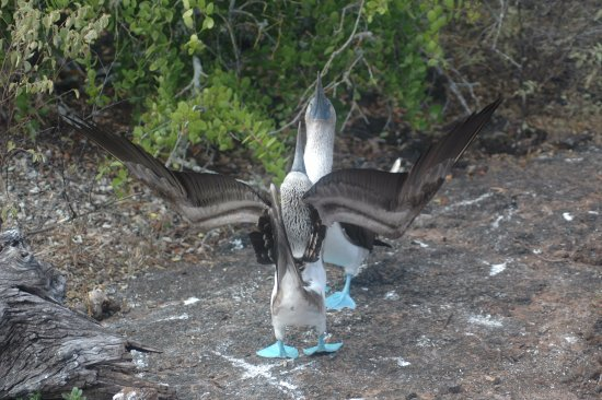 ‪‪Puerto Villamil‬, الإكوادور: blue footed boobies‬