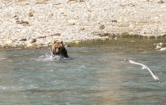 Campbell River, Kanada: A young bear playing with salmons