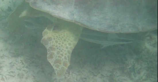 Sandys Parish, Bermudes : Goby cleaning a Green Sea turtle (during snorkeling)