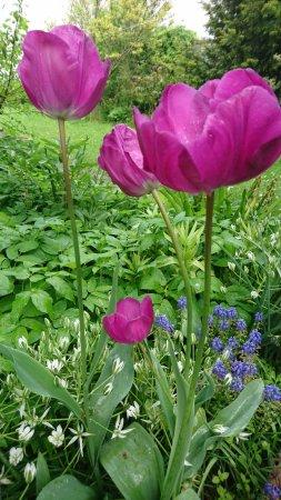 Assendelft, The Netherlands: Tulip on backyard :)