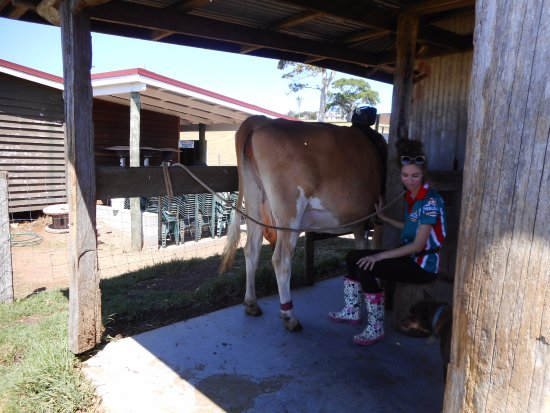Maleny, ออสเตรเลีย: Demonstration on milking the cow. Our granddaughter gave it a go and had so much fun !