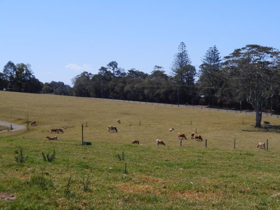 Maleny, ออสเตรเลีย: Beautiful scenery with the cows roaming
