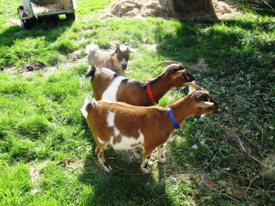 Gatteville-le-Phare, Francia: Les chèvres du camping dans leur enclos