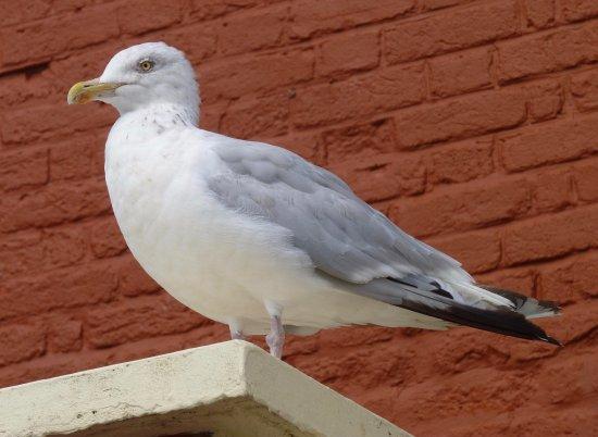 Lyme Regis, UK: Mature Herring Gull