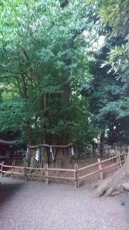 府中市, 東京都, 大銀杏の木