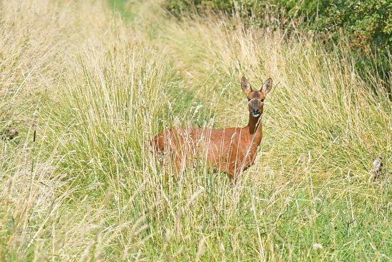 Goole, UK: Roe Deer
