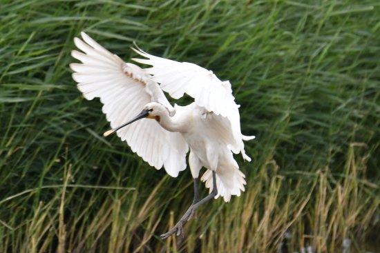 Goole, UK: Spoonbill